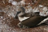 blue-footed booby with a chick