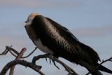 baby frigatebird