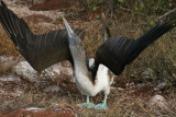 blue-footed booby trying hard to impress her female