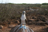 sad looking booby... maybe lonely as no mate?