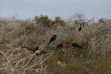 frigatebirds colony