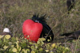 male frigatebirds have inflatable red-coloured throat pouches which they inflate to attract f