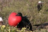 Frigatebirds attack other sea birds, hence the name