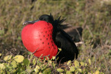Frigatebirds are related to pelicans, the term frigate pelican is also a name applied to them