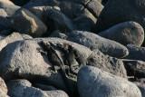marine iguanas bask in the sun