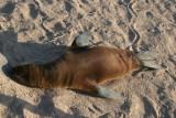 sealion is sunbathing