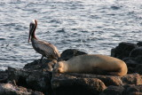 pelican and sealion