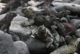 Espanola Island: marine iguanas