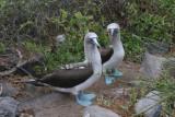 Espanola Island: cute couple of blue-footed boobies