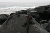 marine iguanas are found only on the Galapagos Islands