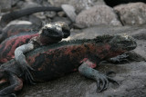 Marine Iguana's on Española are the only ones that change color during breeding season