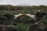 waved albatrosses breed exclusively on Española Island in the Galápagos archipelago