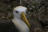 portrait of waved albatross
