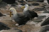 waved albatrosses nesting