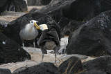 waved albatrosses' mating ritual