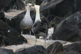 During the non-breeding season, waved albatrosses reside primarily on the coast of Ecuador & Peru