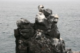 look closely - the rock is covered with marine iguanas