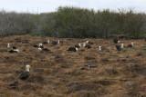 waved albatrosses colony