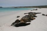 sealions at Gardner Bay of Espanola Island