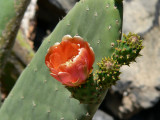 Prickly Pear.