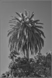 My Favorite Palm Today B&W