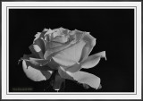 Same Rose, Different Angle, Settings And POV B&W