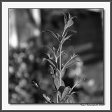 Spring Poppin' Early & Dry In California BW