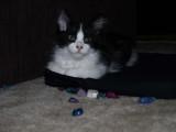 oreo kitty-tom