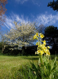 Cowslips and Cherry Blossom by jono