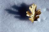 leaf on Snow by Paul Wear