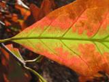 (p: Foliate Oak)