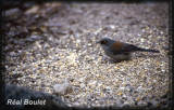 Junco aux yeux jaunes (Yellow-eyed Junco)