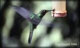 Brillant à front violet (Violet-fronted Brillant)