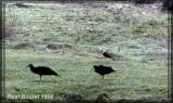 Buse à tête blanche (Black-collared Hawk)