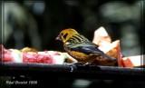 Calliste doré (Golden Tanager)