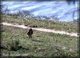 Chevêche des terriers (Burrowing Owl)