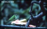 Guit-Guit émeraude (Green Honeycreeper)
