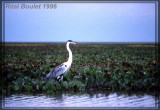 Héron cocoi (White-necked Heron)