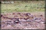 Ibis mandore (Buff-necked Ibis)