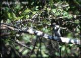 Martin-pêcheur vert (Green Kingfisher)