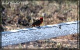 Moucherolle vermillon (Vermillon Flycatcher)