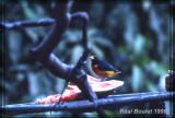 Organiste à ventre roux (Rufous-bellied Euphonia)