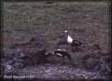 Ouette de l'Orénoque (Orinoco Goose)