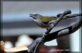 Saltator des grands-bois (Buff-Throated Saltator)