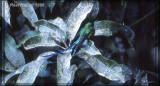 Sylphe à queue d'azur (Long-tailed Sylph)