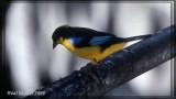 Tangara à nuque jaune (Bleu-winged Mountain-Tanager)