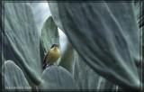 Todirostre familier (Common Tody-Flycatcher)