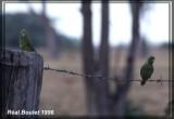 Toui été (Green-rumped Parrotlet)