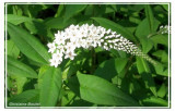 Lysimaque à feuilles de clethra