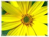 Plante soleil
